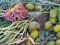 Compost, Chrysanthemum and Green Plums, 2011