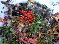 Compost, Tomatoes, 2010