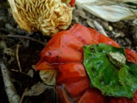 Compost, Red Pepper,  2010